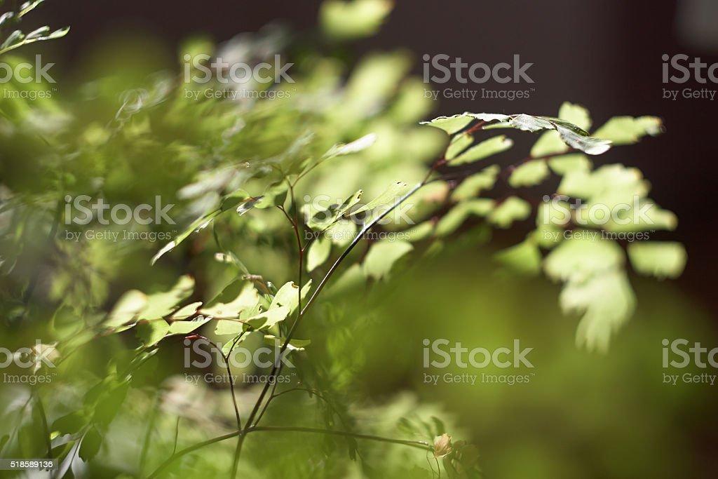 Adiantum capillus-veneris stock photo
