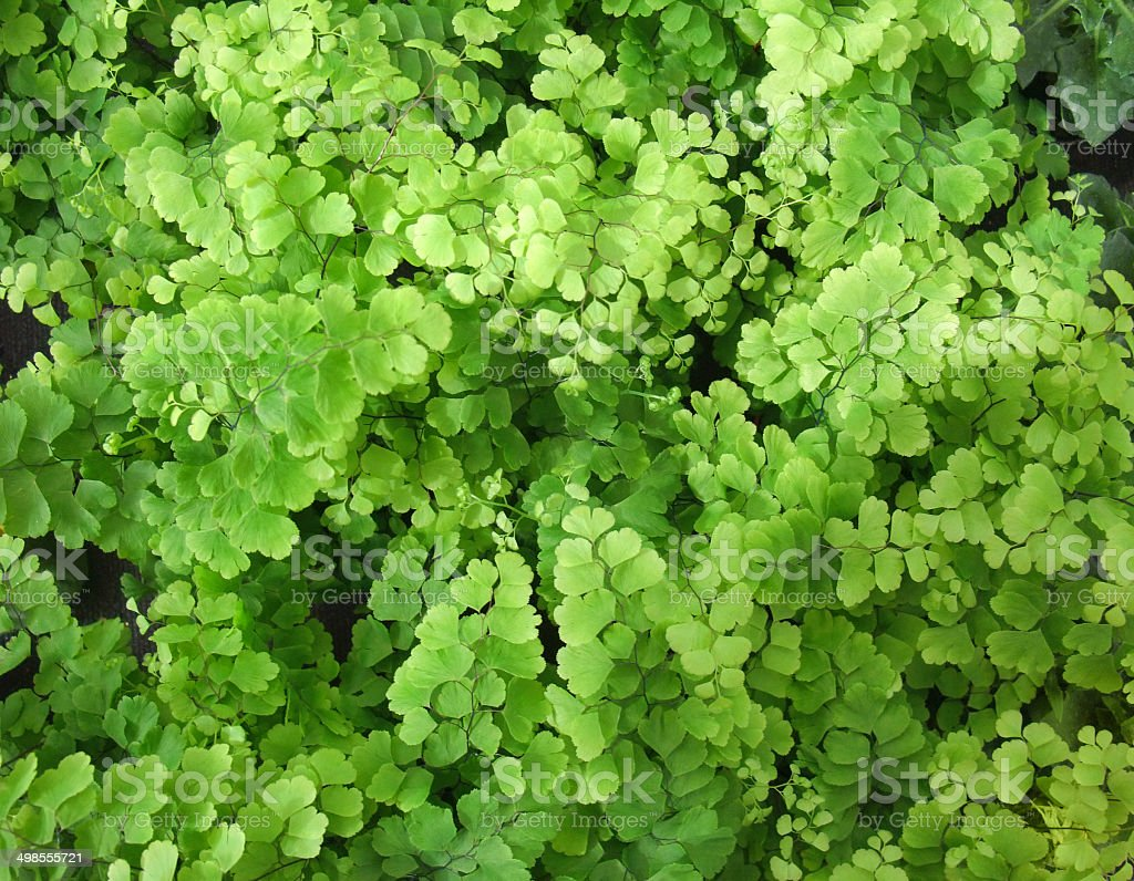 Adiantum royalty-free stock photo
