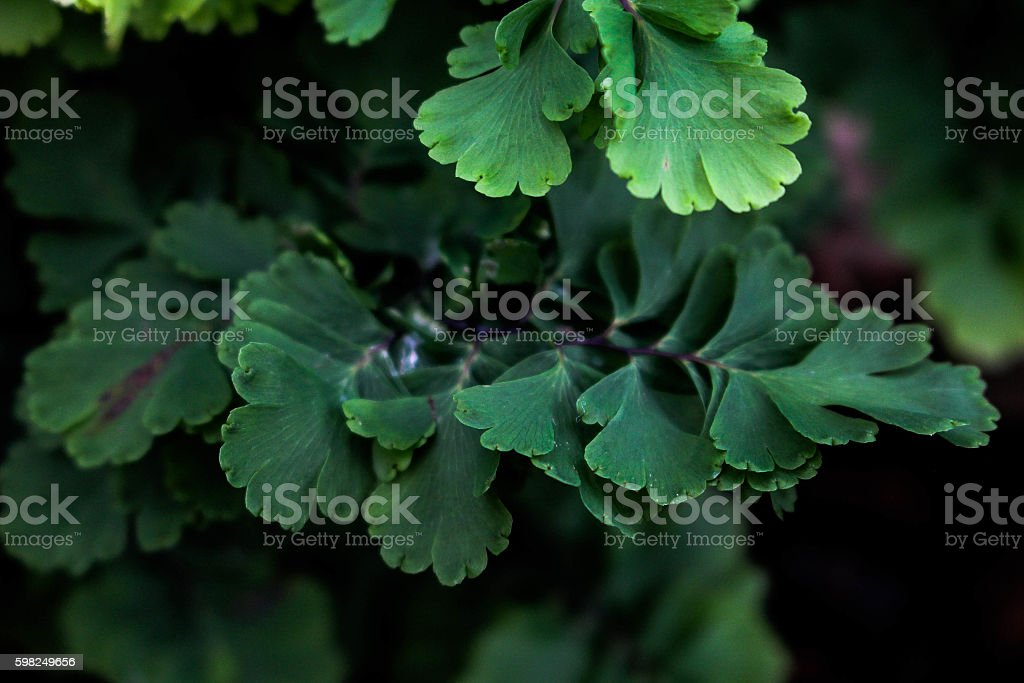 Adiantum raddianum cv. Sea Whips stock photo