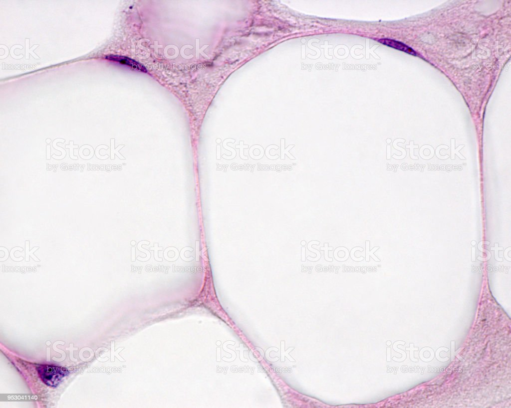 Adipocytes stock photo