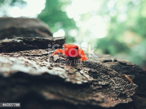 Adirondack Eastern Red Eft Salamander Amphibian Newt Notophthalmus Viridescens on rock along Ampersand Mountain Trail.