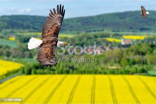 Adler fliegt mit ausgebreiteten Flügeln an einem sonnigen Tag im Mittelgebirge über ein Rapsfeld.