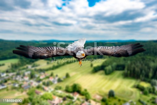 Adler flies with outstretched wings at high altitude on a sunny day directly to the photographer and viewer.