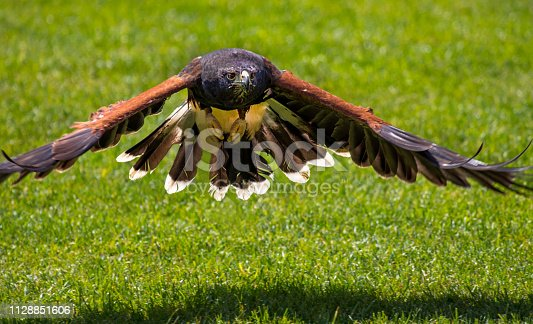 Adler im Anflug bei Flugshow Flugvorführung Greifvogel Flug