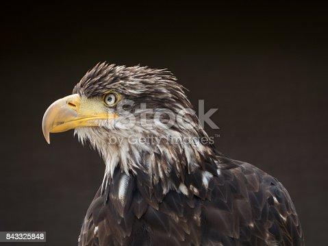 Raubvogel Porträt