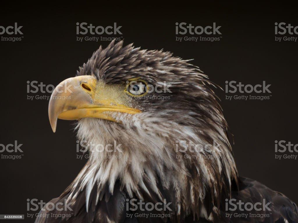 Adler vor schwarzem Hintergrund stock photo
