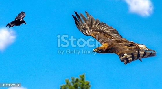 Adler wird von Krähe vertrieben Flogen Raubvogel Flugshow Kampf Revier