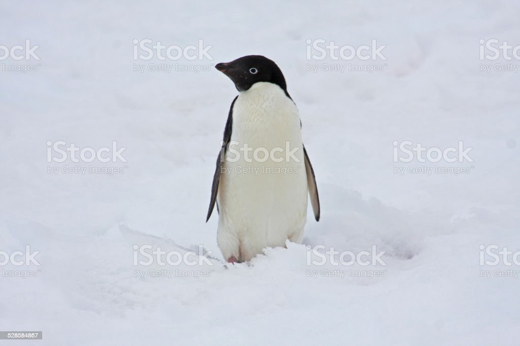 Adélie penguin in snow in Antarctica stock photo