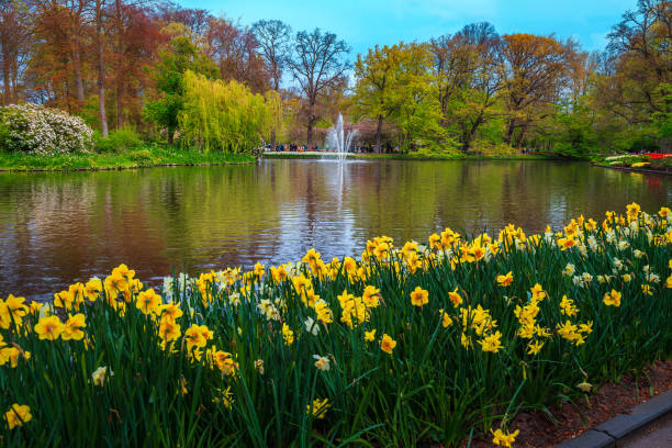 Admirable colorful fresh narcissus flowers in the fantastic park, Netherlands stock photo
