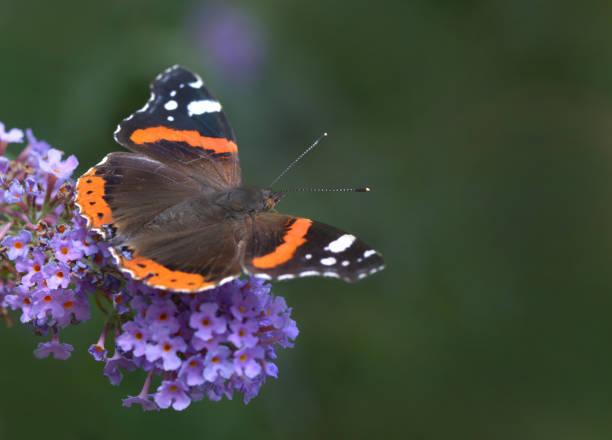 Admiral Schmetterling auf Blüte – Foto