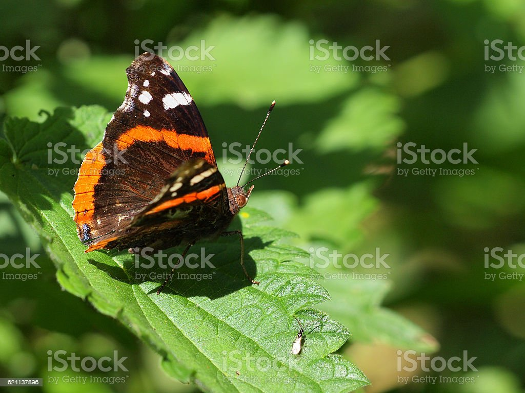 Admiral butterfly resting on nettle stock photo