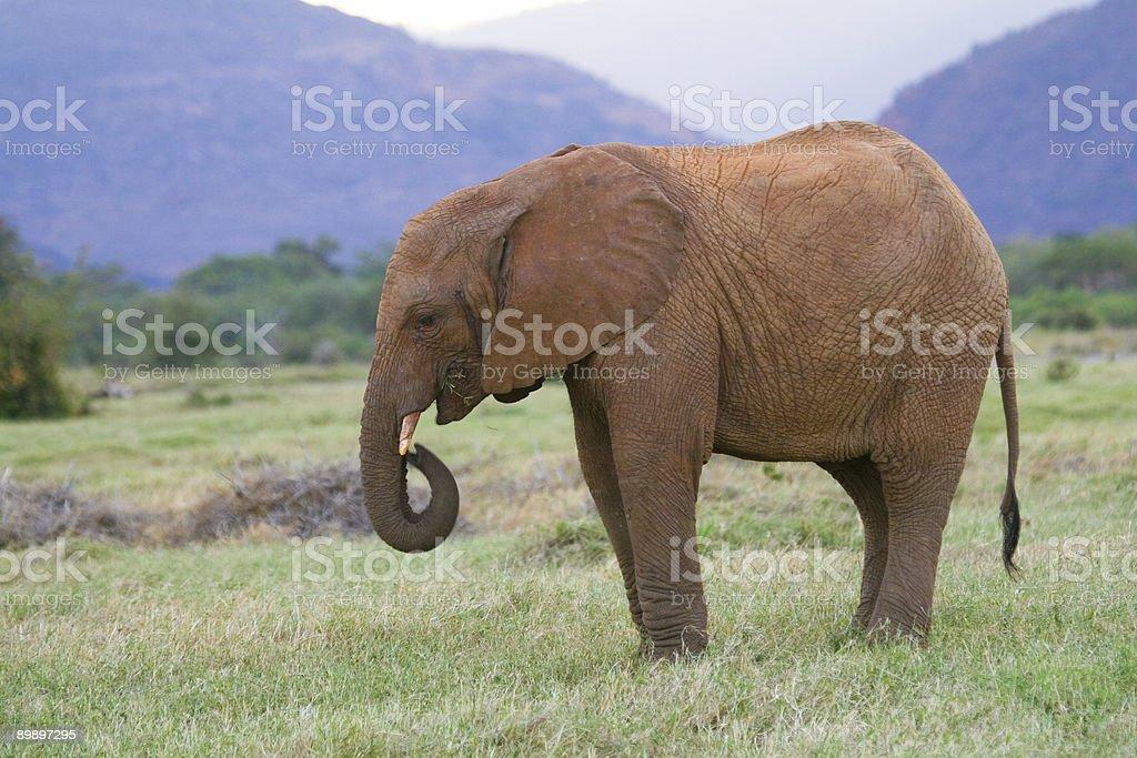 Adolescente elefante africano foto de stock libre de derechos