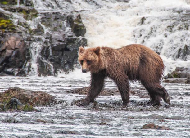 Adolescent Grizzly Bear, Inner Passage, Alaska stock photo