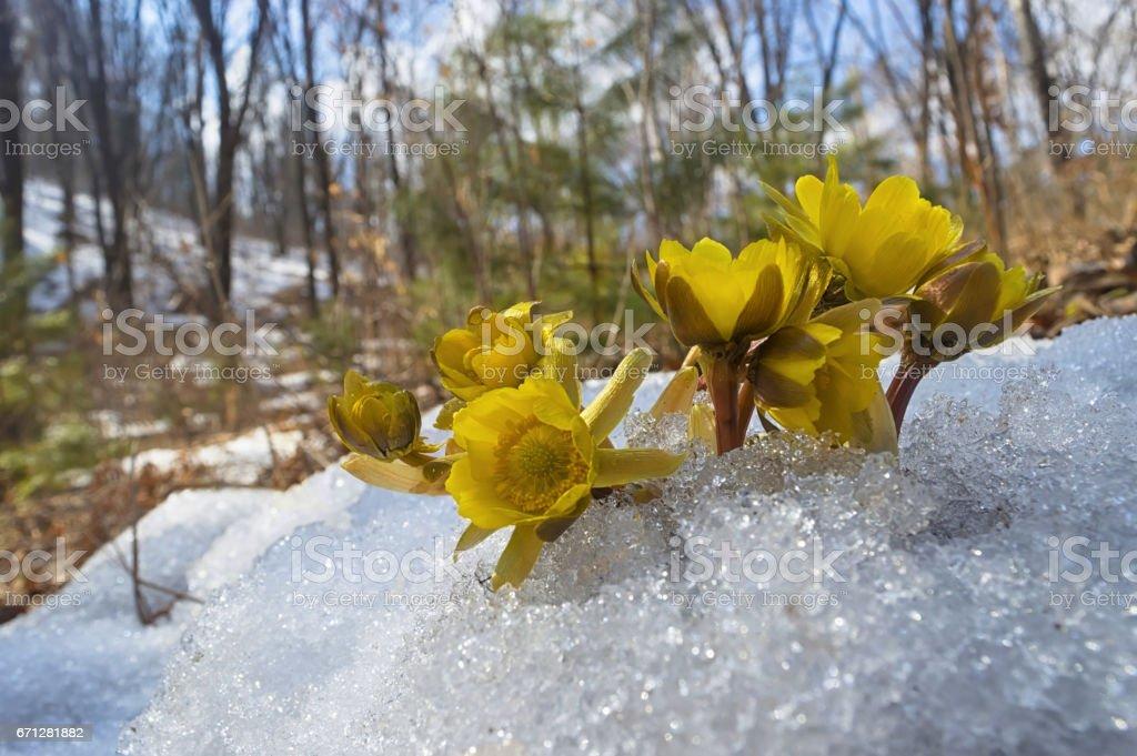 Adonis amurensis. Far Eastern 'snowdrops'. stock photo