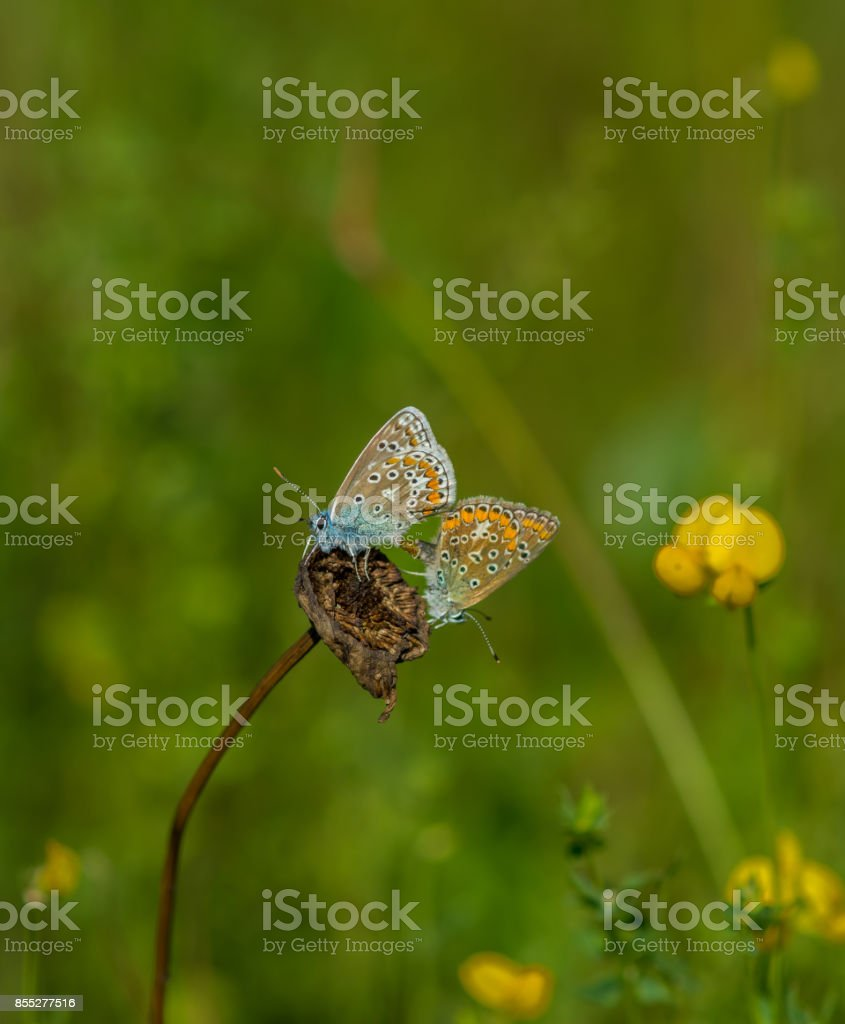 Adonis Blue butterfly mating on the dead flower stock photo