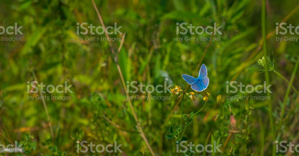 Adonis Blue butterfly on a flower stock photo