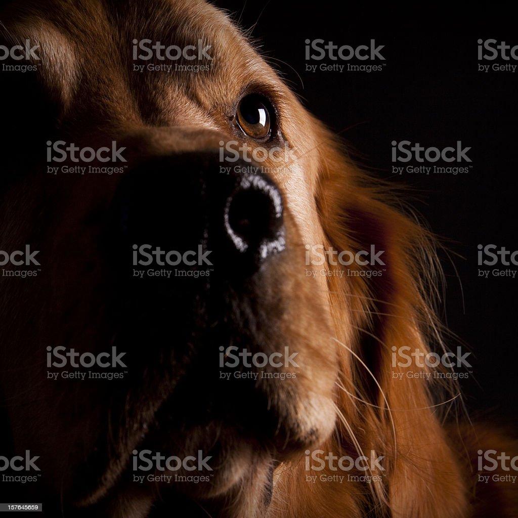 Adopt A Pet - Curious Golden Retriever royalty-free stock photo