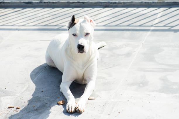 Adopted dogo argentino sunbathing stock photo