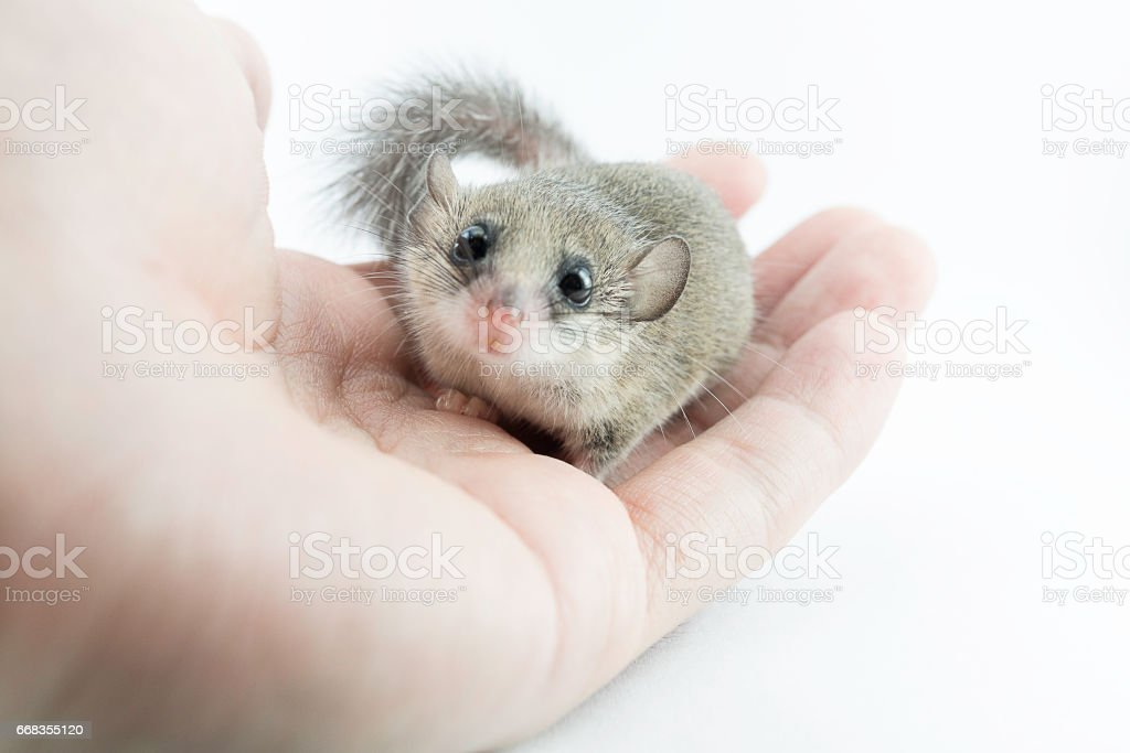 adorable African Pygmy dormouse on hand look at camera on white background, soft focus stock photo