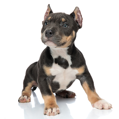 istock Adorable American Bully looking to the side 1153406444