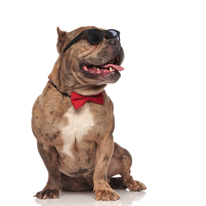 istock adorable american bully wearing sunglasses and red bowtie 1202287241