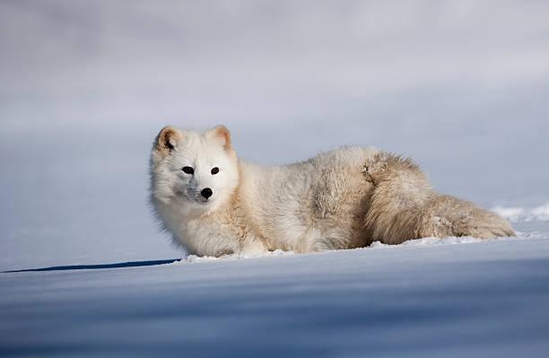 adorável raposa ártica em um campo de neve. - raposa ártica imagens e fotografias de stock