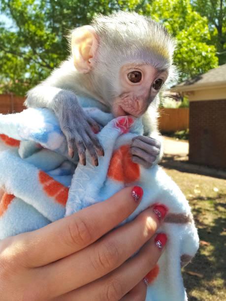 monkeymonkey capucin à face blanche adorable bébé dans une couverture, détenue par la femme avec paillettes fingerpolish devant un fond extérieur bokeh - animaux familiers exotiques photos et images de collection