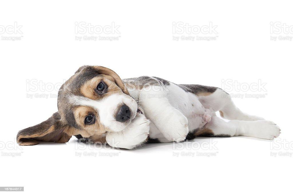 adorable beagle puppy lying stock photo