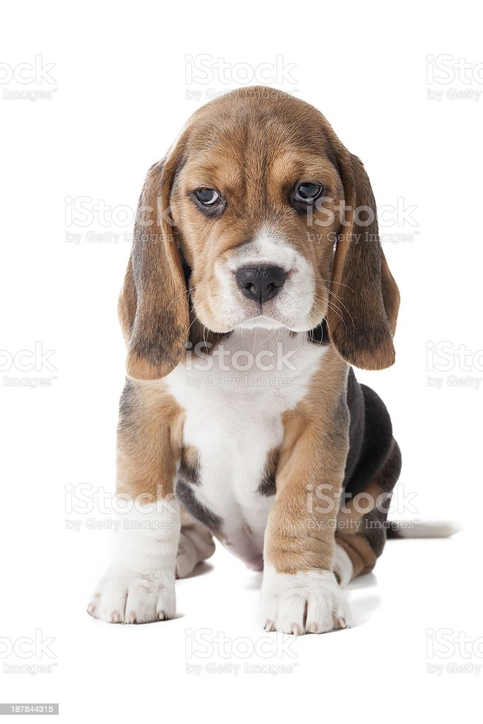 adorable beagle puppy royalty-free stock photo