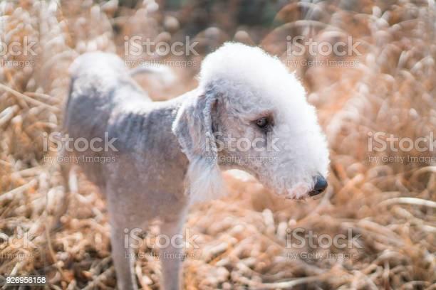 Adorable bedlington terrier at the sunshine evening picture id926956158?b=1&k=6&m=926956158&s=612x612&h=2o4k7bknctpzlbexrknxcqf5zzaggvledcljvfpxoqc=