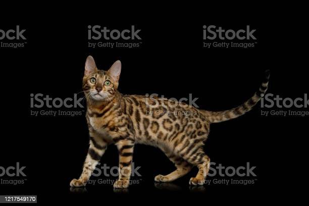 Adorable bengal cat on isolated black background picture id1217549170?b=1&k=6&m=1217549170&s=612x612&h=ncjjvontgygn y h5uqpefgygpf f bxxlua7zmvzzm=
