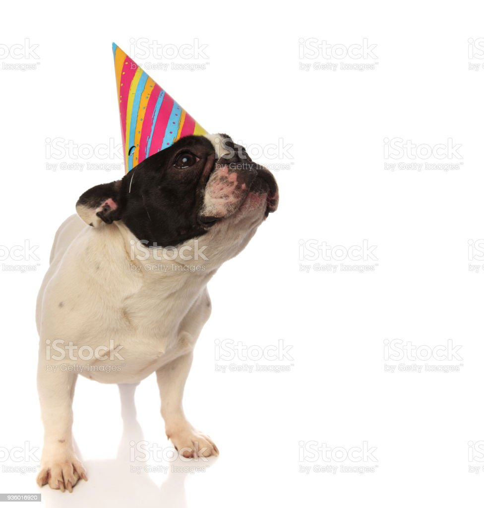 Wonderful Bulldog Canine Adorable Dog - adorable-birthday-puppy-looking-up-hopes-for-a-treat-picture-id936016920  Image_229743  .com/photos/adorable-birthday-puppy-looking-up-hopes-for-a-treat-picture-id936016920