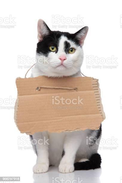 Adorable black and white cat begging for food picture id956297918?b=1&k=6&m=956297918&s=612x612&h=lf nbn8zceglrxjnrd3jmyjl4xql0xvdv w31 uzw7y=