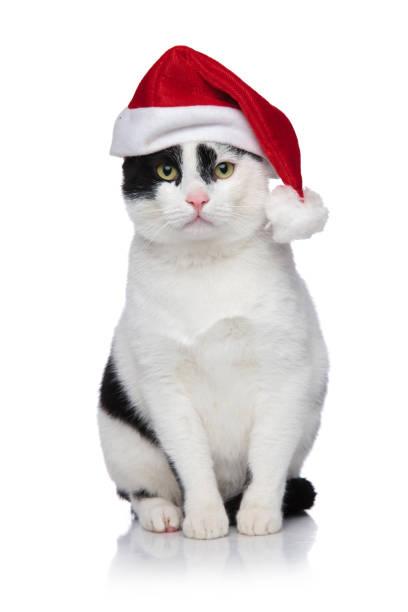 Adorable black and white metis cat with santa cap sitting picture id1066670230?b=1&k=6&m=1066670230&s=612x612&w=0&h=1zdplpk aej57lvhflscae4nayckoaqcyls4erp9i 8=