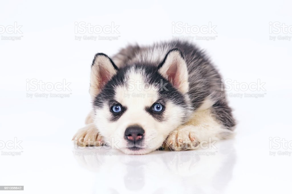 Adorable Black And White Siberian Husky Puppy With Blue Eyes Lying Down Indoors On A White Background Stock Photo Download Image Now Istock