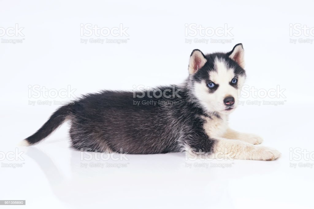 Adorable Black And White Siberian Husky Puppy With Blue Eyes Lying