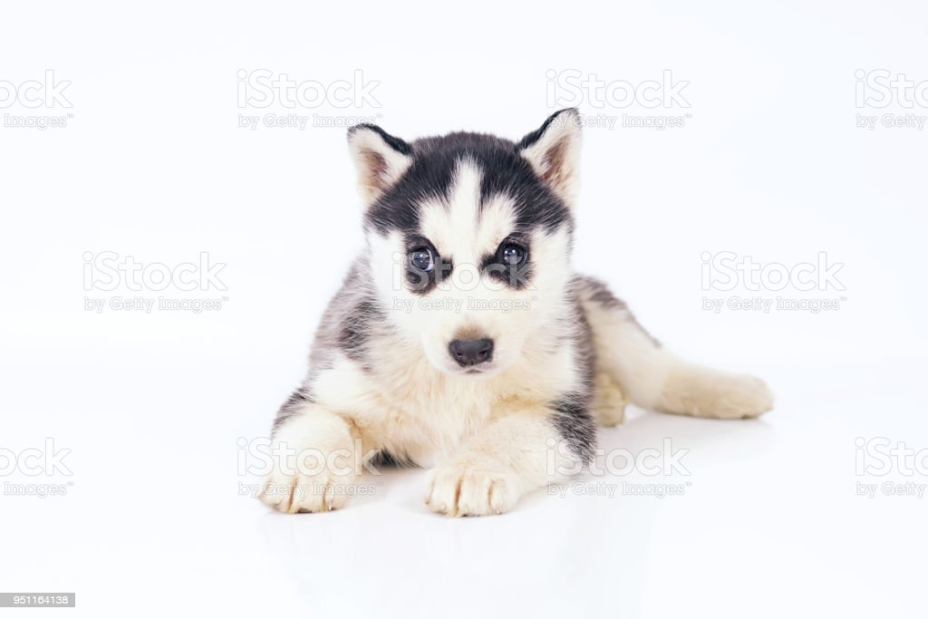Adorable Black And White Siberian Husky Puppy With Brown Eyes Lying Down Indoors On A White Background Stock Photo Download Image Now Istock