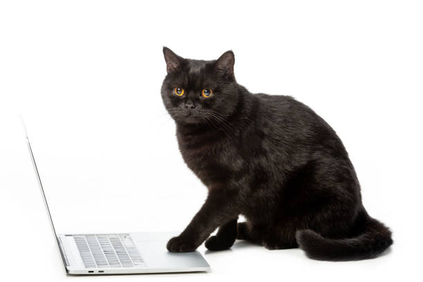 Adorable black british shorthair cat using laptop isolated on white picture id1041488150?b=1&k=6&m=1041488150&s=612x612&w=0&h=bbjkdyudtebpesmkmjdnb s ndhjocxfux2cz8wflna=