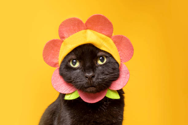 Adorable Black Cat in Flower Hat on Yellow A super cute photo of a black cat in a flower hat photographed in a studio on a yellow background. sdominick stock pictures, royalty-free photos & images