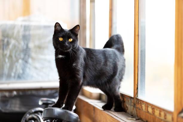 Adorable black cat walks on balcony at afternoon picture id1091851560?b=1&k=6&m=1091851560&s=612x612&w=0&h=xeqrsuznx7lnny3j fpxnylwqzxbjqilxkplldumrvu=