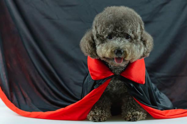 entzückende schwarze pudel hund mit dracula kleid. - hund spinnenkostüm stock-fotos und bilder
