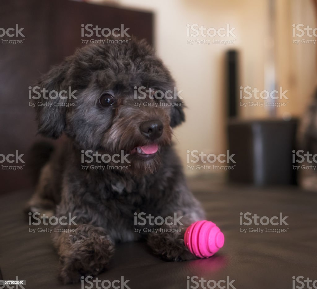 Adorable black poodle toy with pink ball royalty-free stock photo