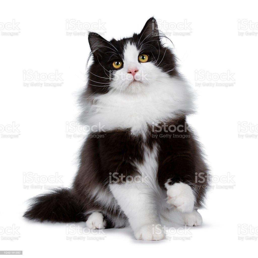 Goede Adorable Black Smoke Siberian Cat Kitten Sitting Playing Facing QE-94