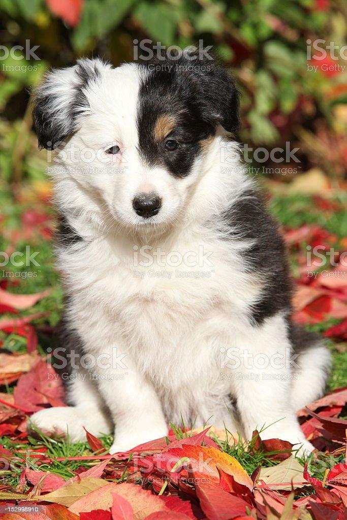 Encantadores Border Collie cachorro - foto de stock
