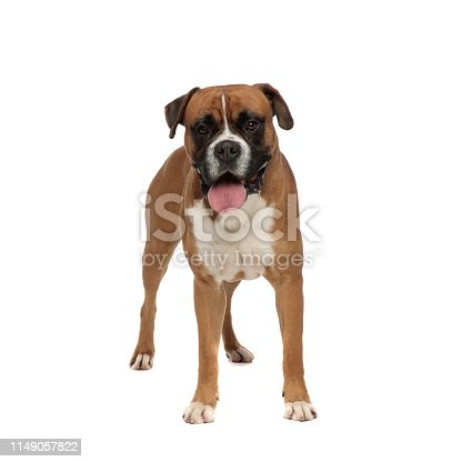 adorable boxer standing, sticks its tongue out, looking at the camera on a light background