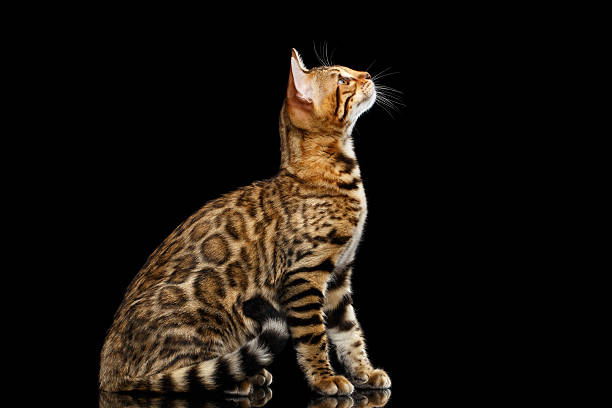 Adorable breed bengal cat isolated on black background picture id618841046?b=1&k=6&m=618841046&s=612x612&w=0&h=6d l fjgu9u37yvsnkpqxyeqamdkara1irgbbpmhmis=