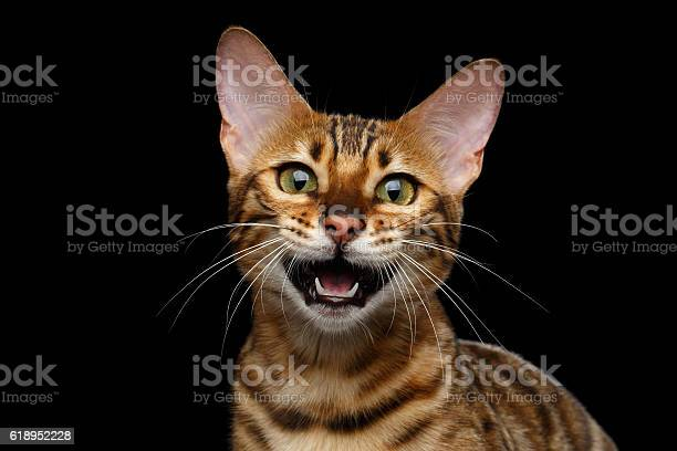 Adorable breed bengal cat isolated on black background picture id618952228?b=1&k=6&m=618952228&s=612x612&h=ojzxlyk8vd1eoop0erad6mjy1j6yfajfqht50vhkp8s=
