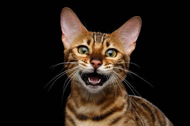 Adorable breed bengal cat isolated on black background picture id618952228?b=1&k=6&m=618952228&s=612x612&w=0&h=dqq4lvazag2w7ywh4fntlijzf1x71plq1wgf1zz6xse=