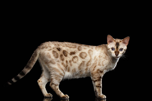 Adorable breed bengal cat isolated on black background picture id618952554?b=1&k=6&m=618952554&s=612x612&w=0&h=wxf3rq3fmmvsqyhehfoh5qpcti5z vms9k ayrbj89g=