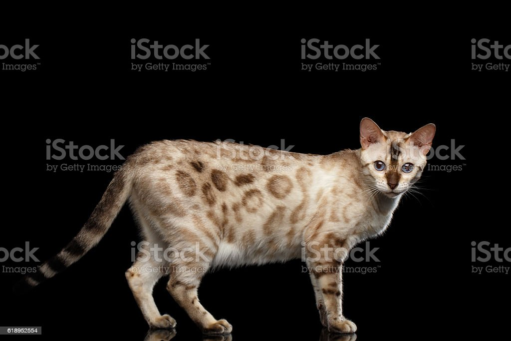 Adorable breed Bengal Cat isolated on Black Background - foto de acervo